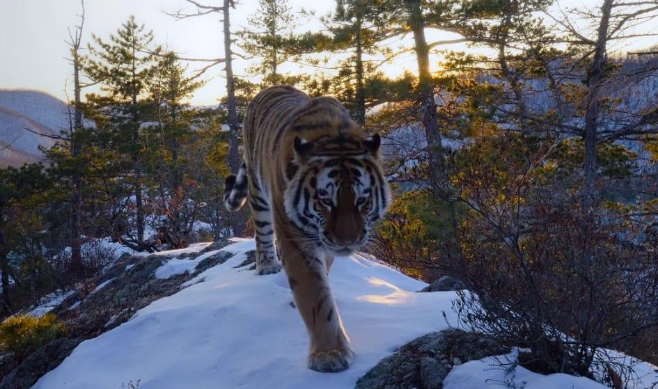 Nuestro planeta, tigre